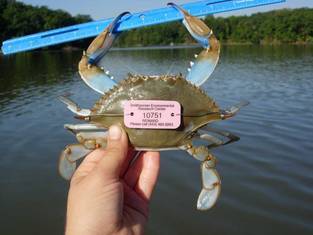 Image of Raising Your Blue Crab IQ
