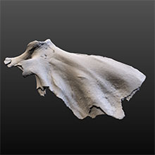 Image of Fossil Dolphin (Scapula)