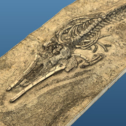 Image of Fossil Whale MPC 677